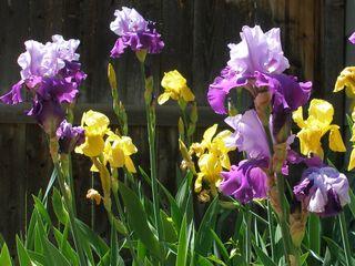 Bearded iris3
