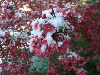 Crab apple with snow