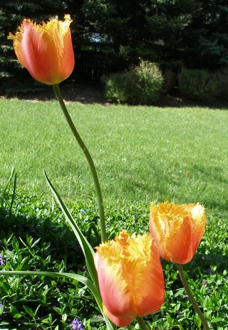 Orange feathered tulips
