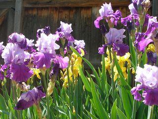 Bearded iris1